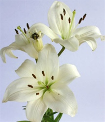 Wholesale Bulk Discount Cut Asiatic Lilies White
