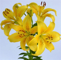 Wholesale Bulk Discount Cut Asiatic Lilies Yellow