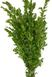 Wholesale Bulk Discount Wholesale Myrtle Greenery