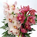 Cymbidium Orchid - Assorted