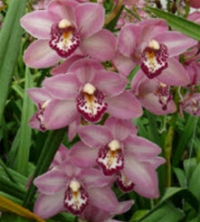 Mini-Cymbidium Orchid - Pink
