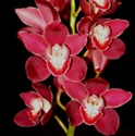 Mini-Cymbidium Orchid - Red