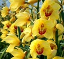 Mini-Cymbidium Orchid - Yellow