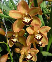 Wholesale Cymbidium Orchid - Rust/Brown