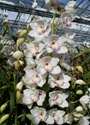 Cymbidium Orchid - White