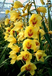 Cymbidium Orchid - Yellow