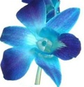 Online Wholesale Bulk Discount Cut Dendrobium Orchid - Blue Dyed
