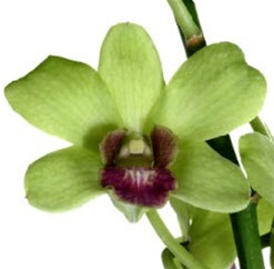 Online Wholesale Bulk Discount Cut Dendrobium Orchid - Green