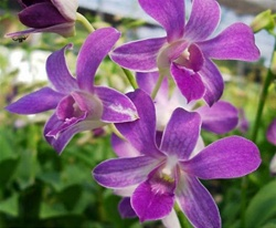 Online Wholesale Bulk Discount Cut Dendrobium Orchid - Purple
