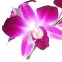 Online Wholesale Bulk Discount Cut Dendrobium Orchid - Purple-White Bombay
