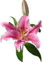 Oriental Lily - Acapulco