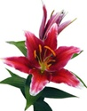 Oriental Lily - Kissproof
