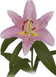 Lombardia Oriental Lily
