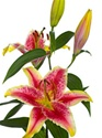 Oriental Lily - Striking