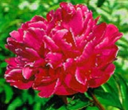 Wholesale Peony - Hot Pink/Red - Adolph Russo