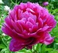 Wholesale Peony - Hot Pink - Alexander Flemming