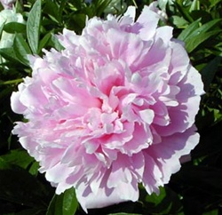 Wholesale Peonies - Assorted