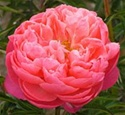 Wholesale Peony - Coral Charm