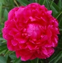 Wholesale Peony - Red - Kansas