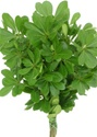 Wholesale Bulk Discount Wholesale Pittosporum - Green - Greenery