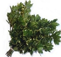 Wholesale Bulk Discount Wholesale Pittosporum - Variegated - Greenery