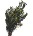 Wholesale Bulk Discount Wholesale Podocarpus Greenery
