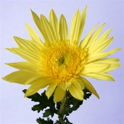 Wholesale Bulk Cremone Mums - Yellow