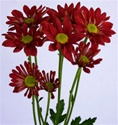 Red Daisy Poms