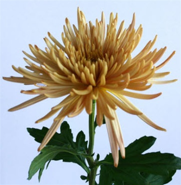 online wholesale bulk discount bronze spider mums flowers