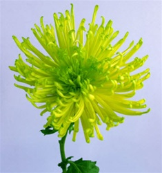 Wholesale Bulk Green Spider Mums
