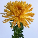Wholesale Bulk Spider Mums - Orange