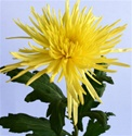 Wholesale Bulk Spider Mums - Yellow