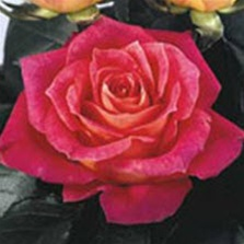 Big Fun Bi-Color Rose from Columbia and Ecuador