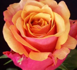 Cherry Brandy Red-Yellow Bi-Color Rose from Columbia and Ecuador