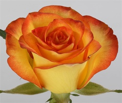 High and Magic Bi-Color Rose from Columbia and Ecuador