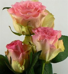 Malibu Pink Bi-Color Rose from Columbia and Ecuador