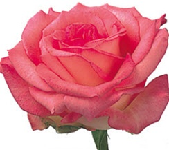 Rossini Bi-Color Rose from Columbia and Ecuador