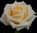 Creme de la Cream Rose from Columbia and Ecuador