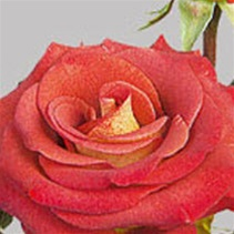 Estelle Earth Tones Rose from Colombia and Ecuador