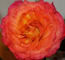 Sunset Garden Rose from Ecuador and California