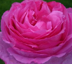 Yves Piaget Hot Pink Garden Rose