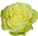 Limbo Green Rose from Colombia and Ecuador