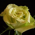 Super Green Rose from Colombia and Ecuador
