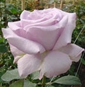 Allure Lavender Rose from Colombia and Ecuador