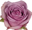 Cool Water Lavender Rose from Colombia and Ecuador