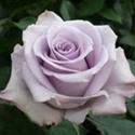 Ocean Song Lavender Rose from Colombia and Ecuador