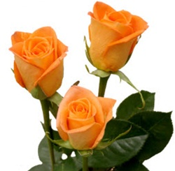Miracle Orange Rose from Colombia and Ecuador