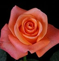 Tropical Amazon Orange Rose from Colombia and Ecuador