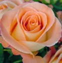 Donna Peach Rose from Colombia and Ecuador