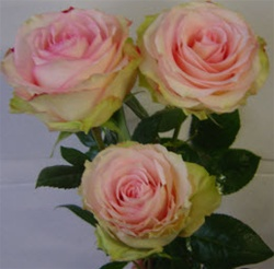 Esperance Pink Rose from Colombia and Ecuador